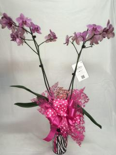 Phalonopsis Orchid Plant